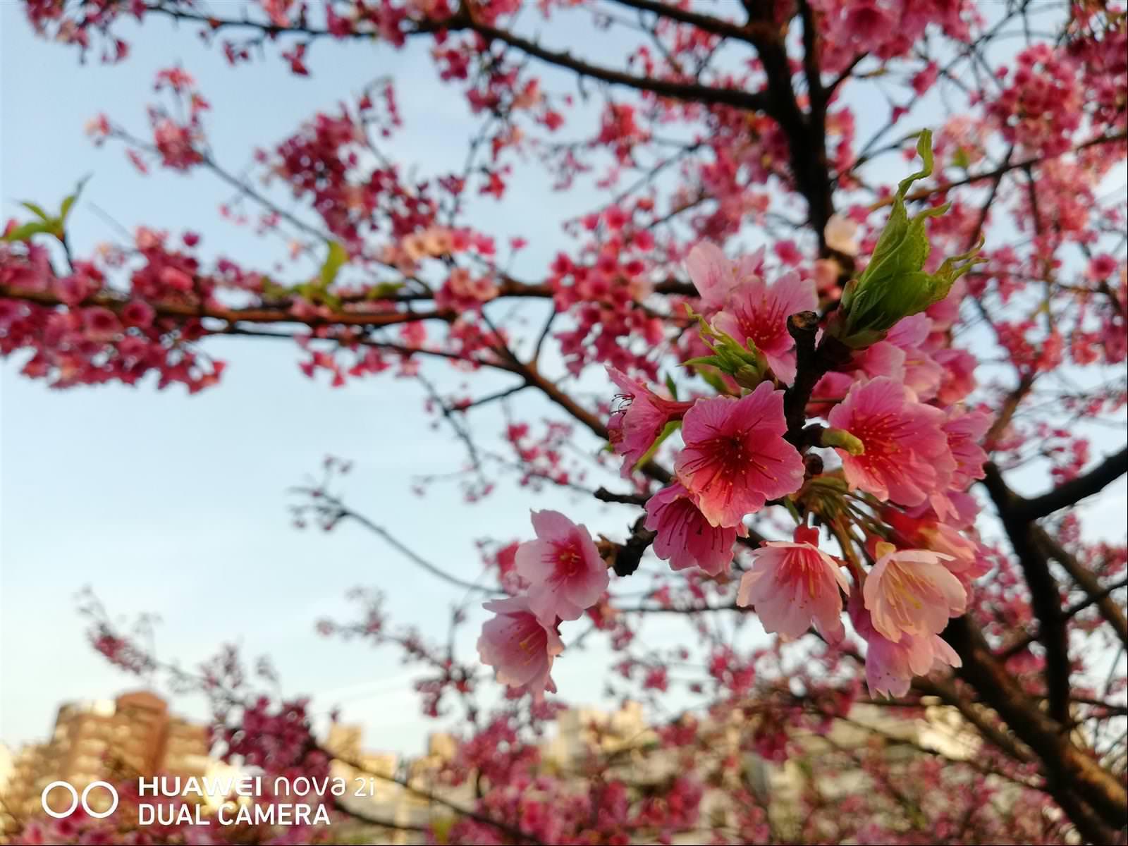 手機拍櫻花